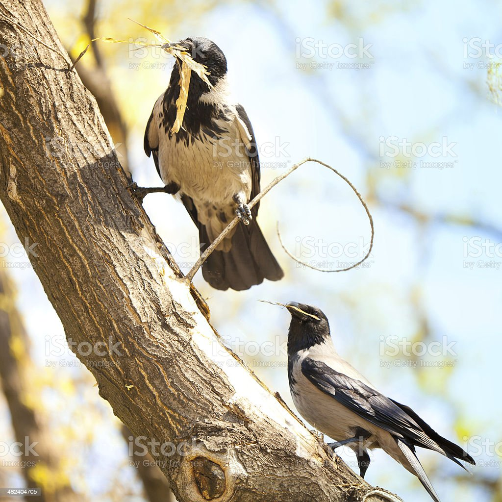 Life of Birds:  Building Nests royalty-free stock photo