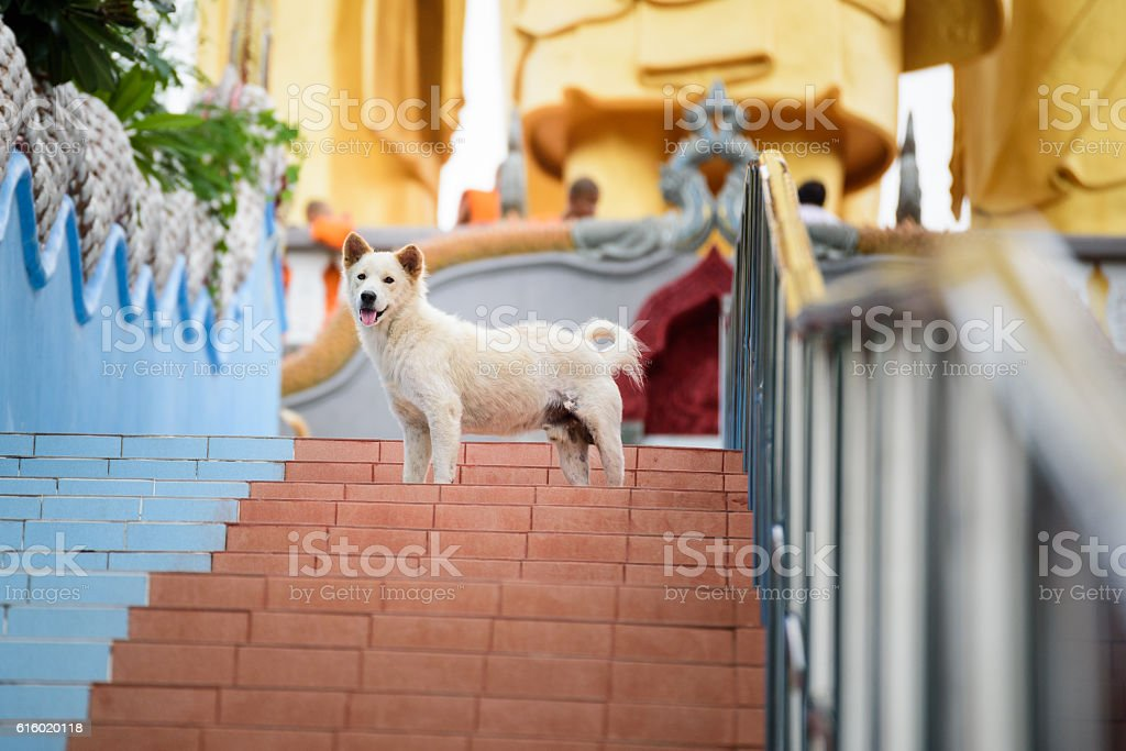 Life of homeless dogs in the temple in Thailand stock photo