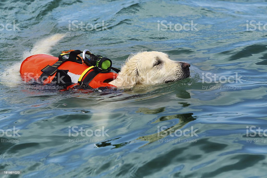 Lifeguard dog stock photo