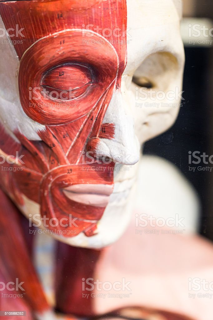 Lifesize Medical Model of Human Skulll with Muscle Tissue stock photo