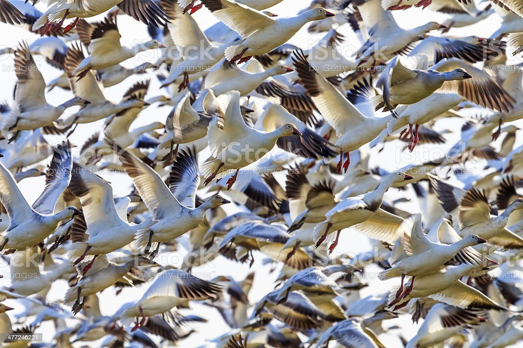 Lift Off Hunderds of Snow Geese Taking Off Flying stock photo