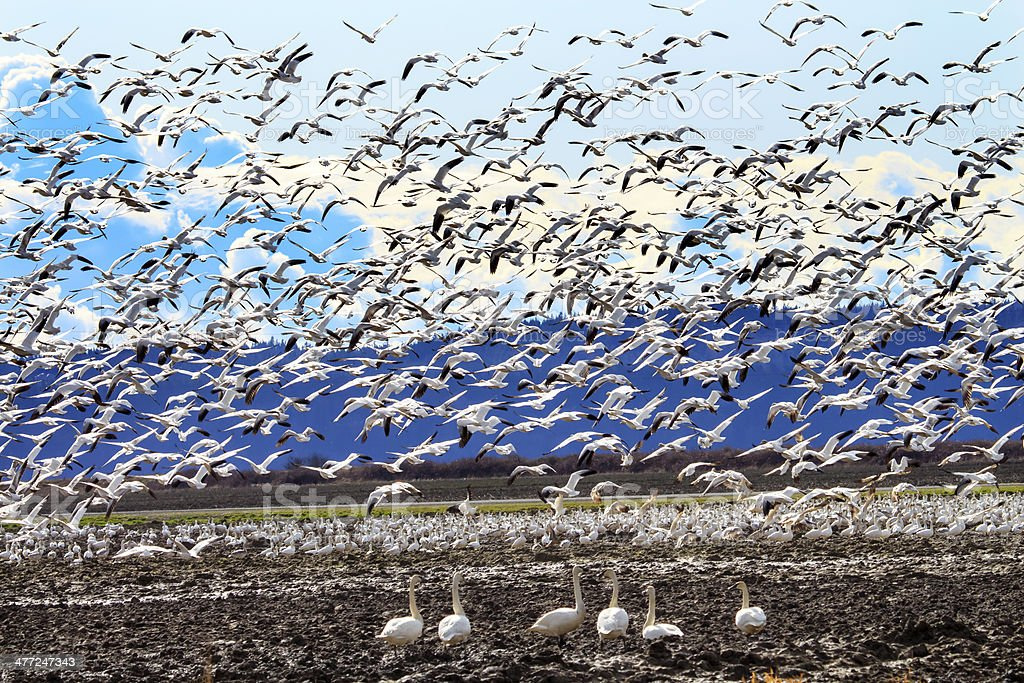 Lift Off Hunderds Snow Geese Taking Off Flying Trumpeter Swans Watching stock photo