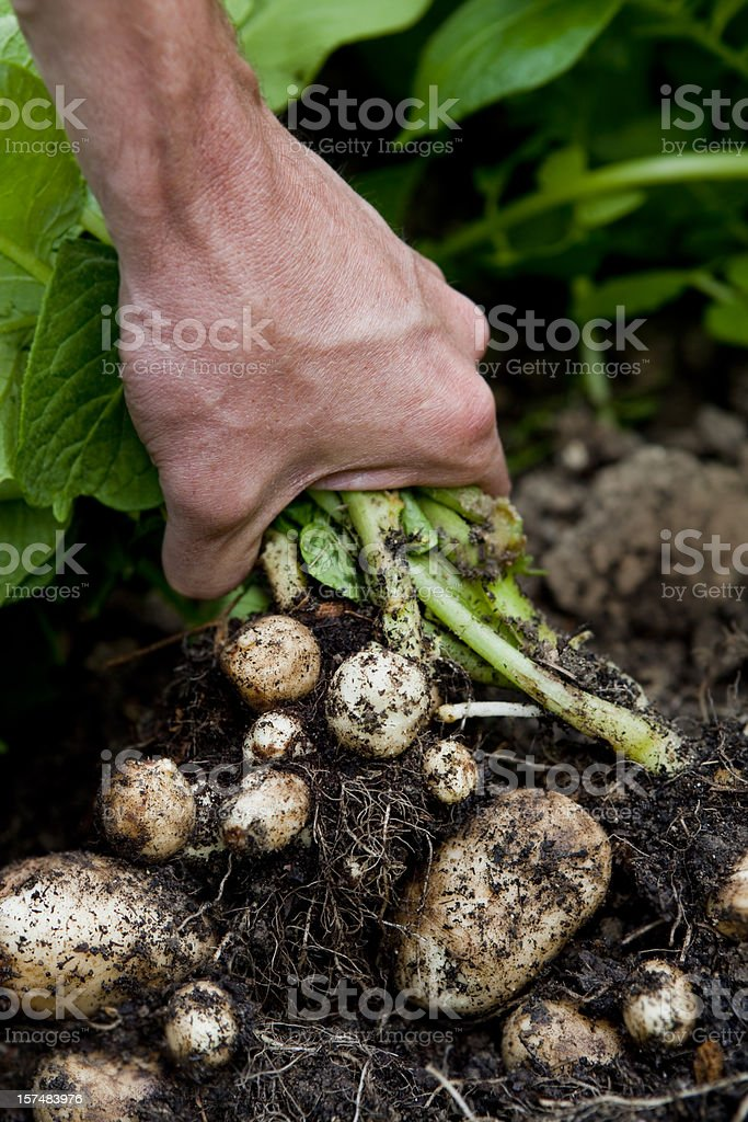 Lifting Organic Early New Potatoes royalty-free stock photo