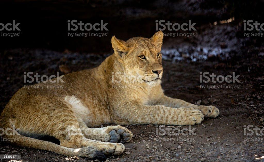 liger lying on ground stock photo