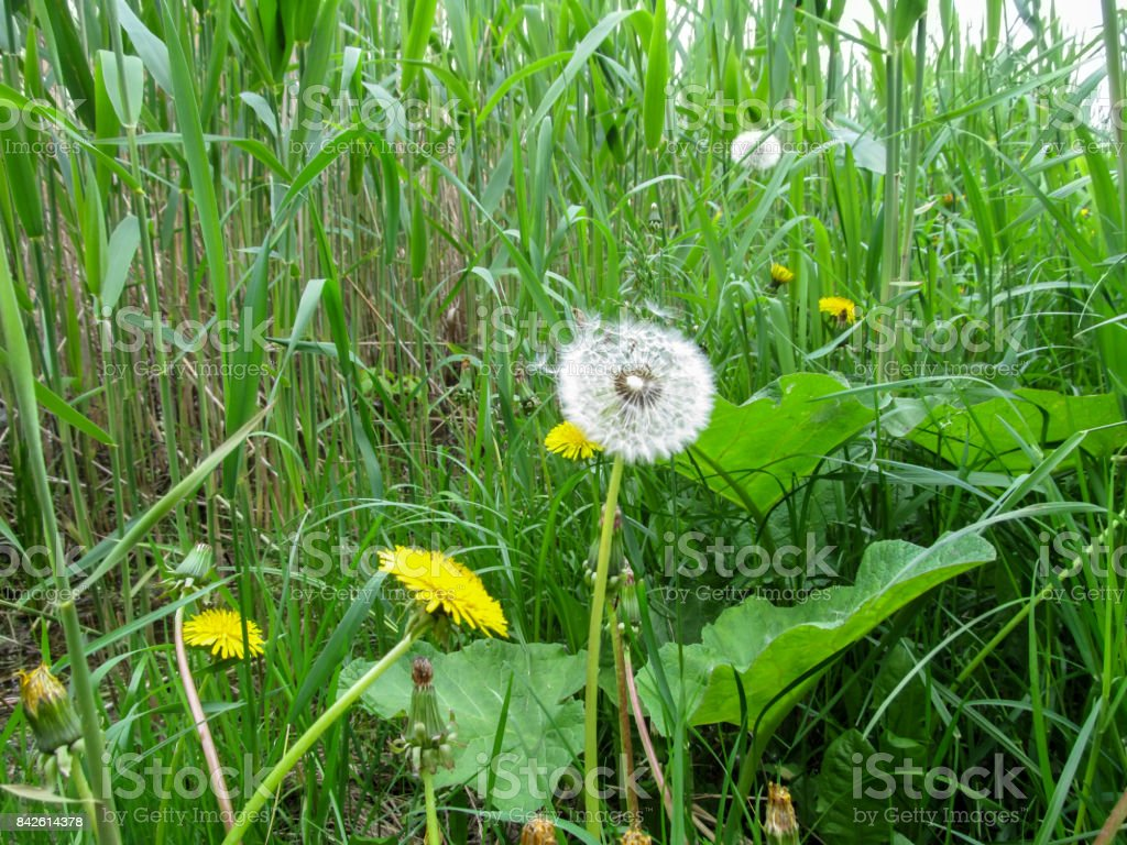 Light airy white dandelion with parachutes among the bulrush stock photo