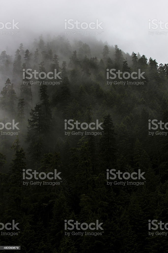 Light and fog through pine trees stock photo