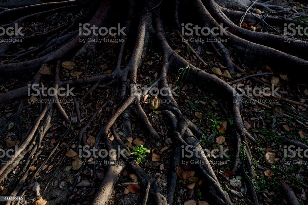 light and shadow of banyan tree Roots stock photo