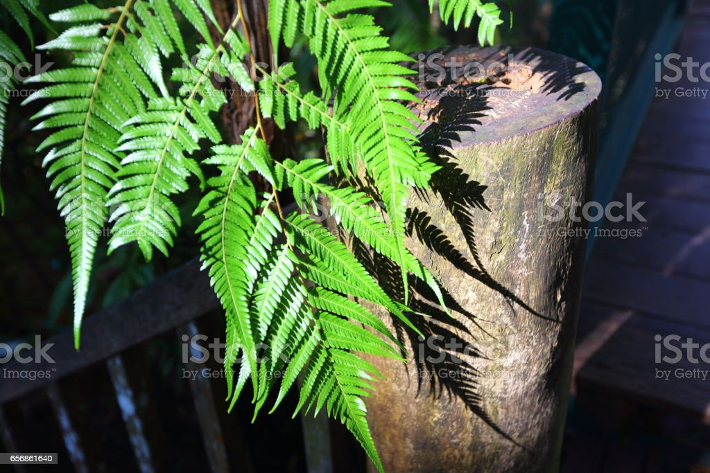 light and shadow of Beautiful Green Fern Leaves in the Garden. lamb of tartary, Shrubs fern stock photo