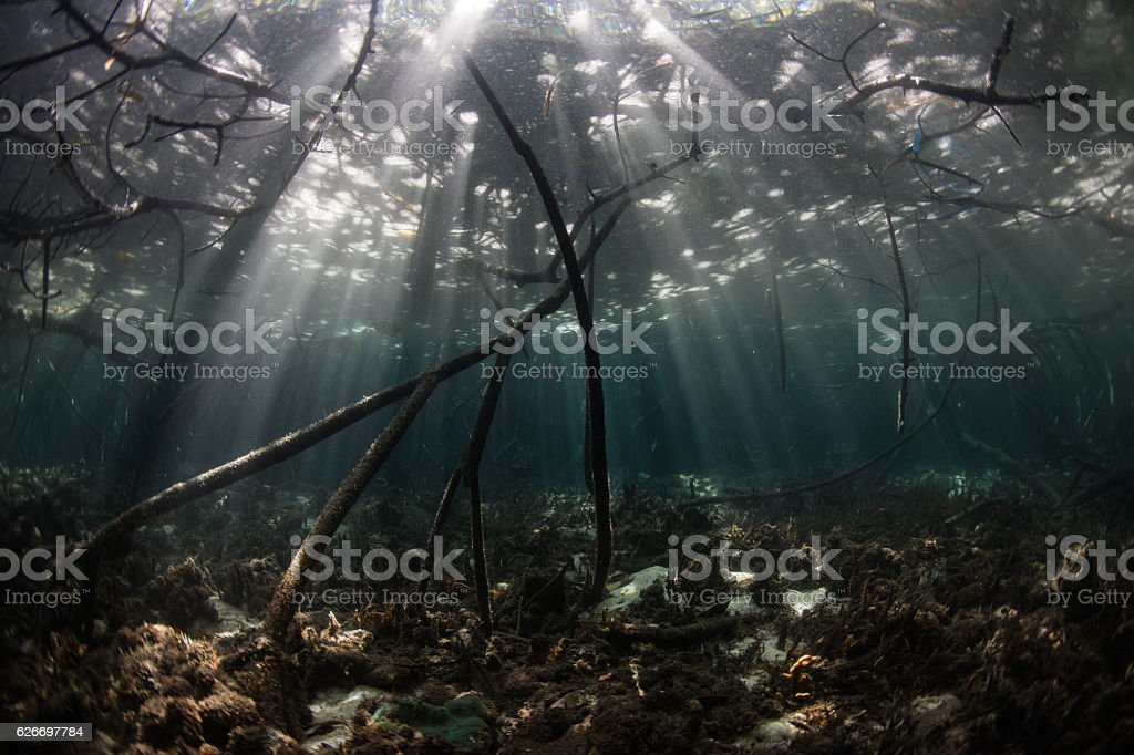 Light and Shadows in Mangrove Forest stock photo