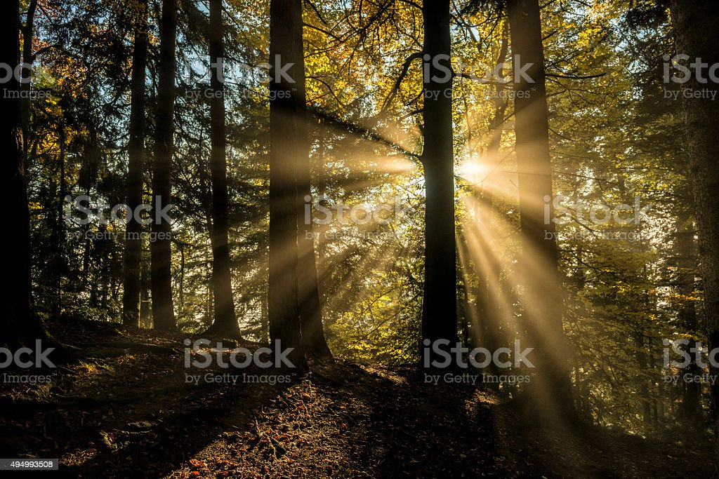 light beams through the trees in the wood stock photo