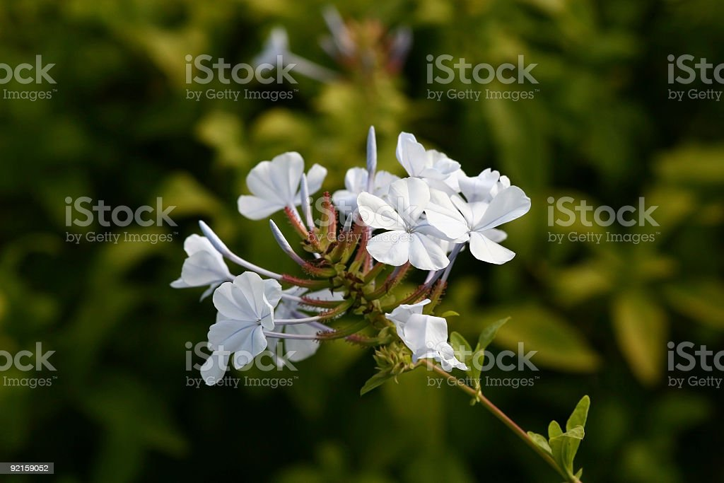 Light Blue Prairie Flowers (Macro) royalty-free stock photo