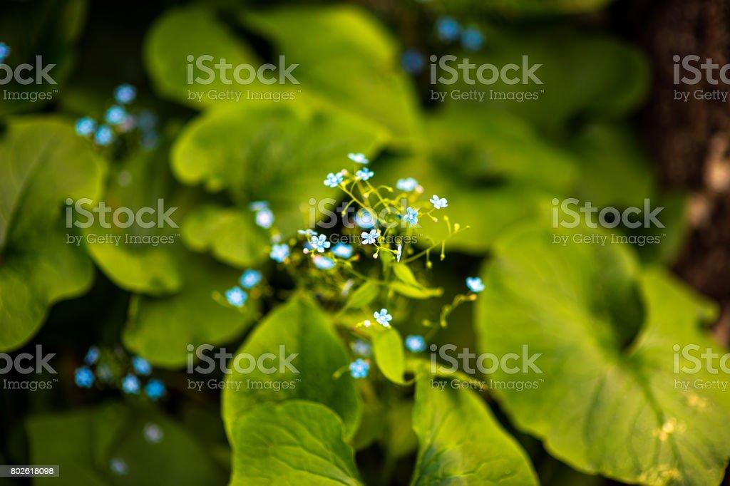 Light blue withe flower of Liverleaf, Liverwort with pink stigmas Hepatica transsilvanica Rosea Lilacina in sun spot stock photo