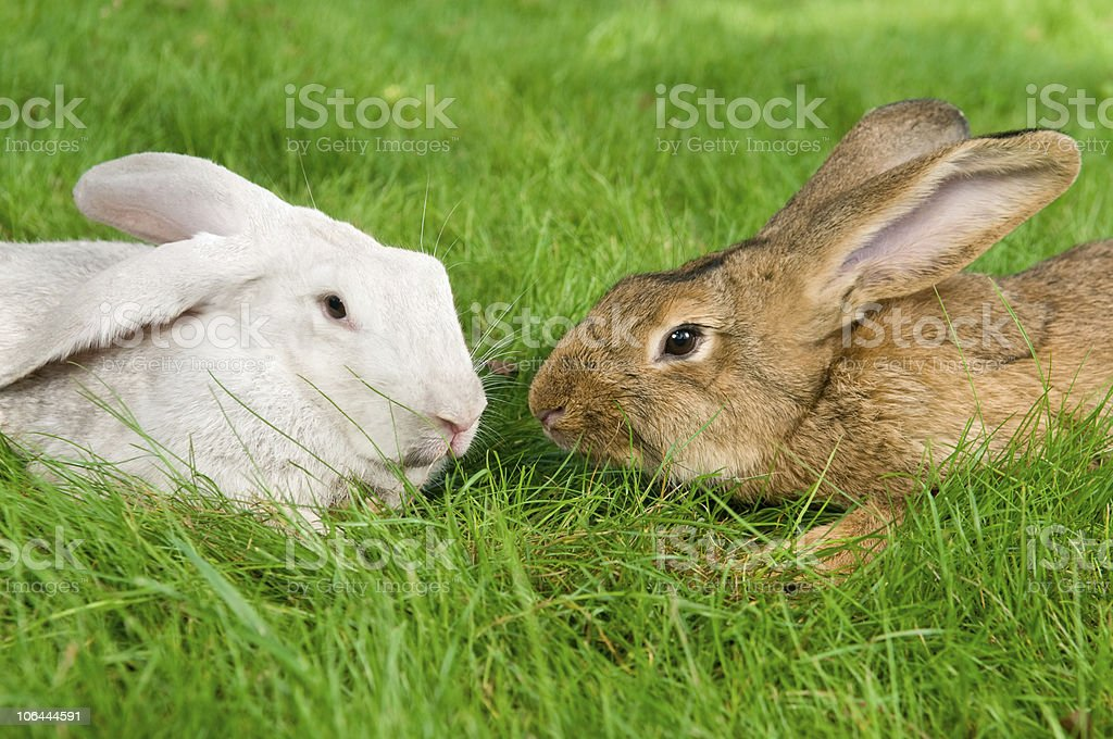 light brown and white rabbits stock photo