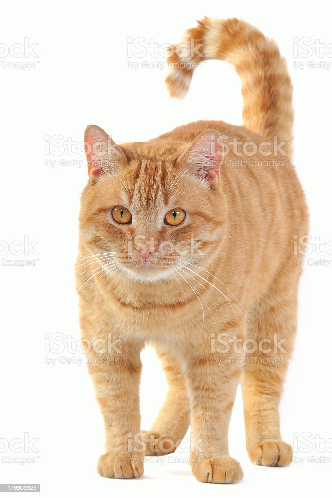 Light brown cat looking at the camera royalty-free stock photo