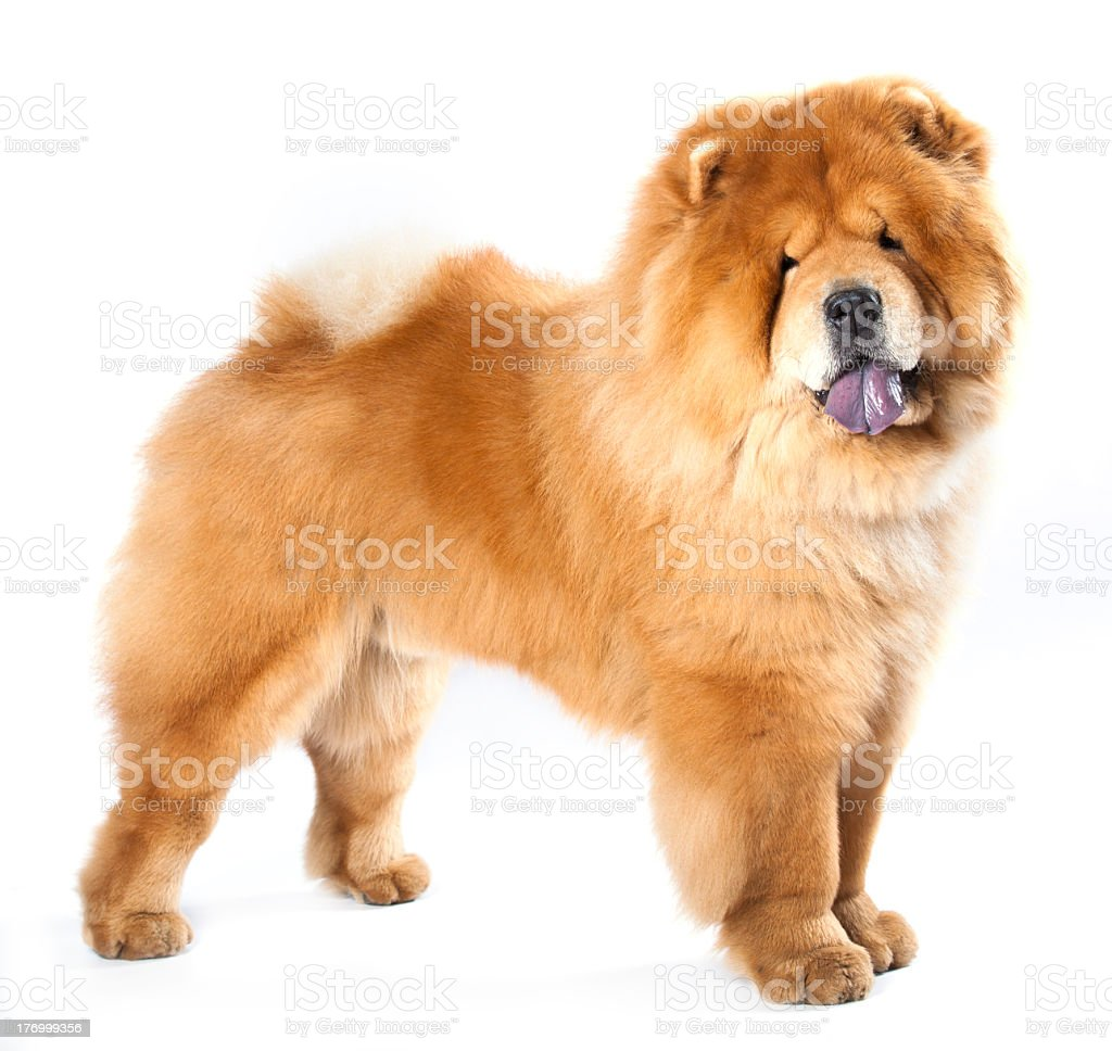 Light brown chow-chow dog with a white background stock photo