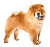 Light brown chow-chow dog with a white background