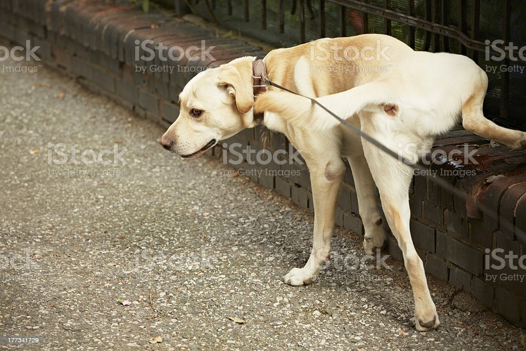 Light brown dog weeing on a wall royalty-free stock photo