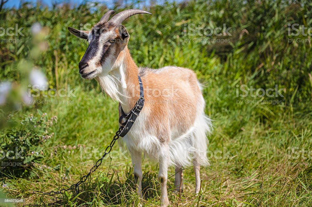 light brown goat stands in full length stock photo
