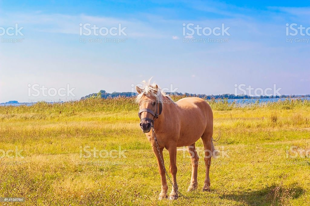 Light brown horse with white mane Palomino stands on meadow stock photo