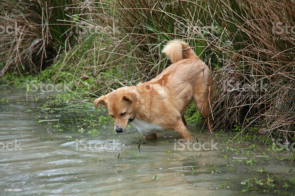 Light brown mixed breed dog in water stock photo