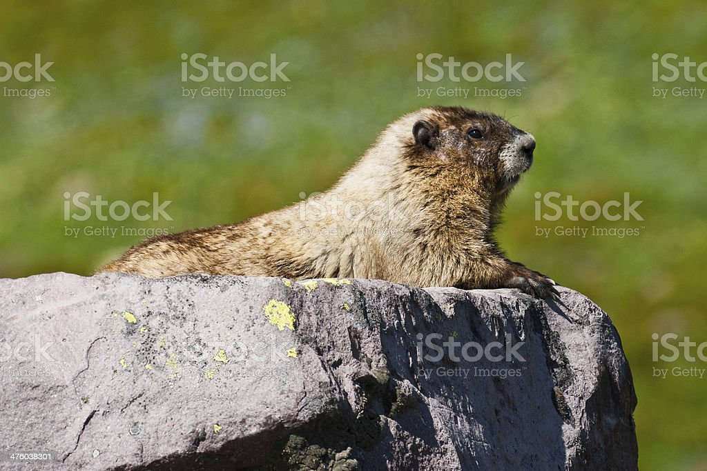Light Colored Hoary Marmot on a Rock royalty-free stock photo