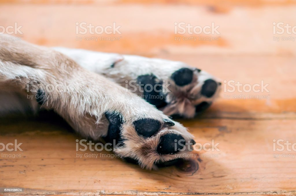 Light Colored Puppy Paw. dog feet and legs on wood stock photo