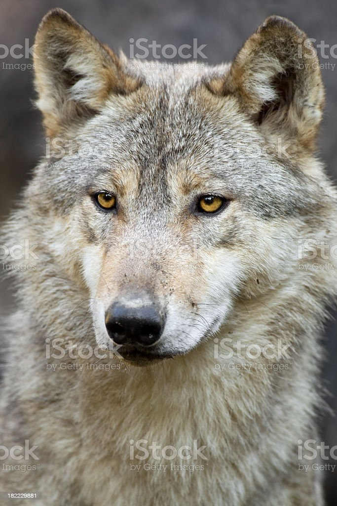 Light colored wolf with amber eyes stock photo