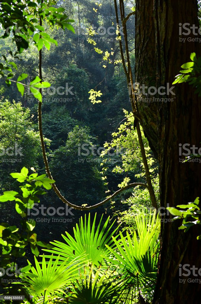 Light filtering through into rainforest understory stock photo