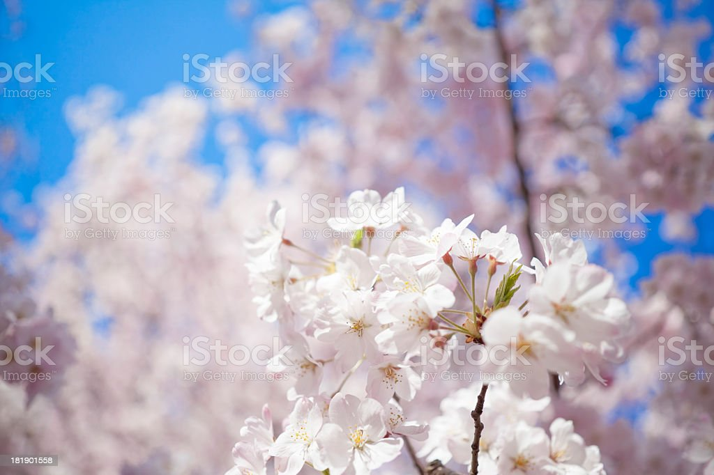 light flowers and shadow flower royalty-free stock photo