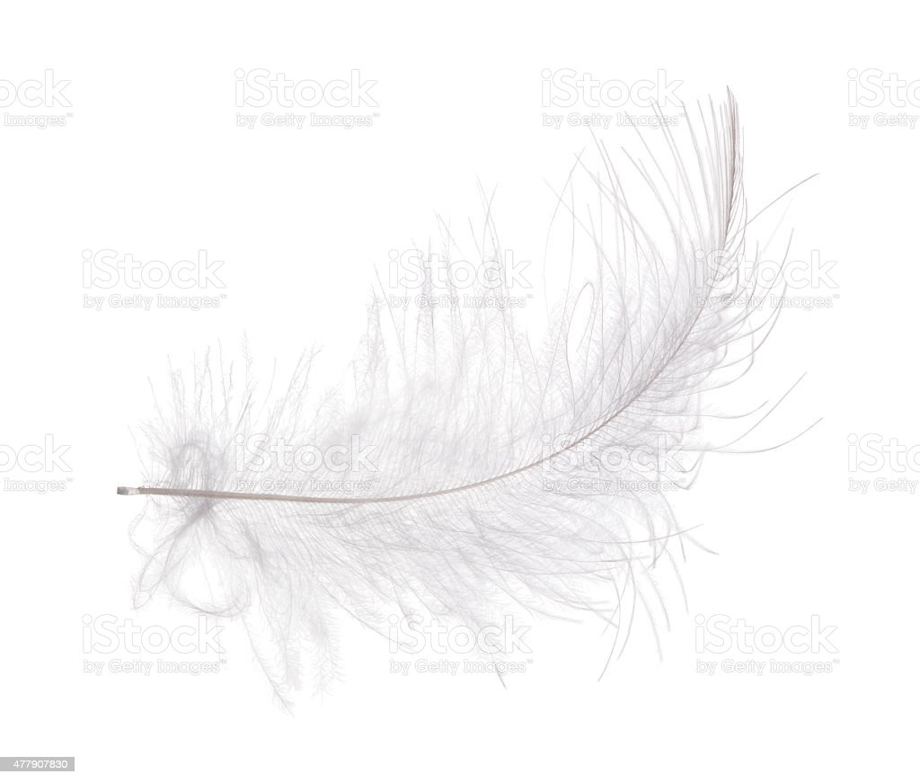light gray curved feather on white background stock photo