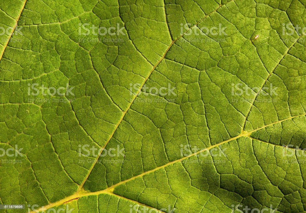 Light green leaf as a natural background stock photo