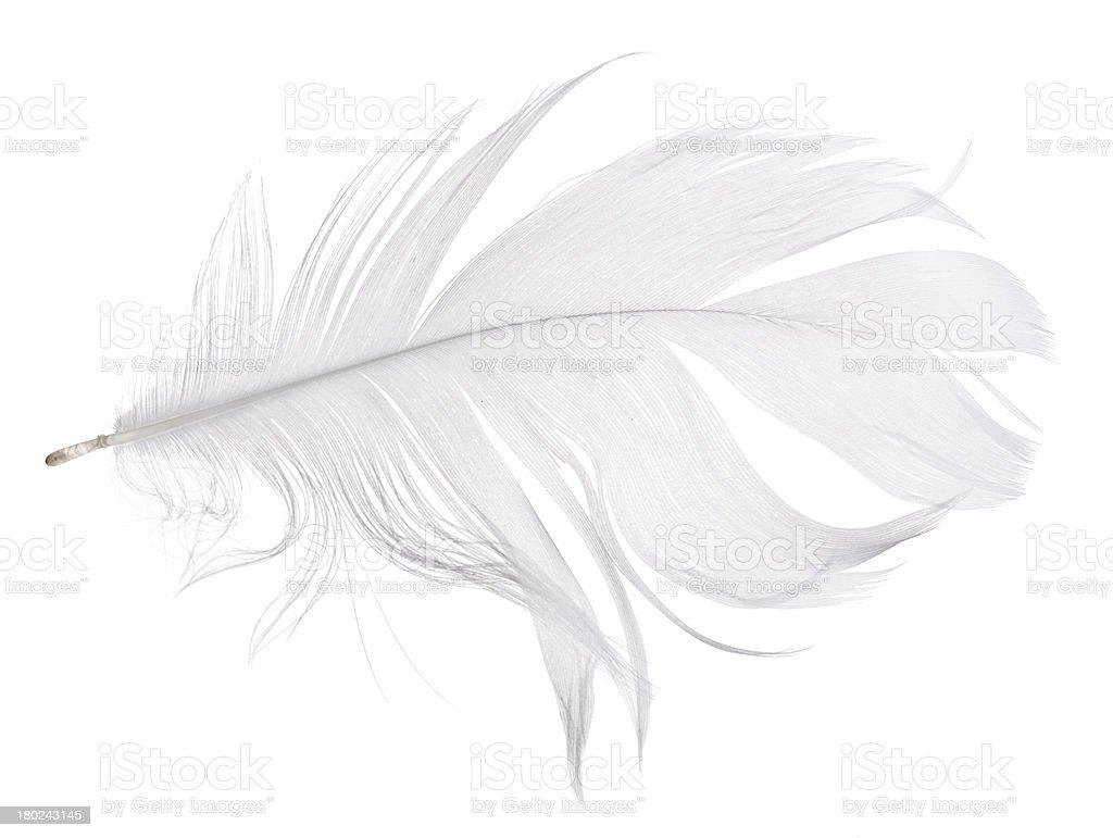 light grey goose feather isolated on white stock photo