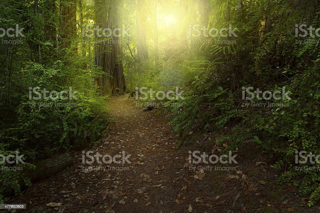 Light in a redwood forest royalty-free stock photo