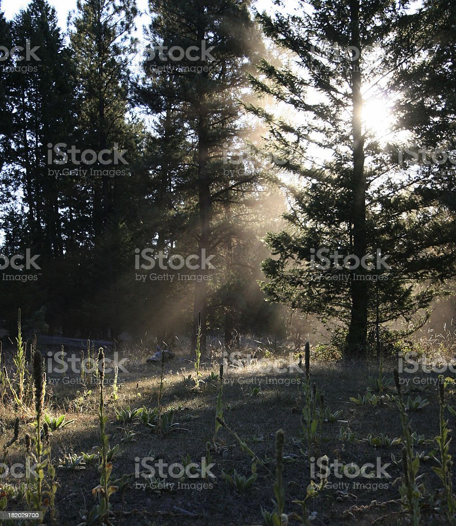 Light in the Forest royalty-free stock photo