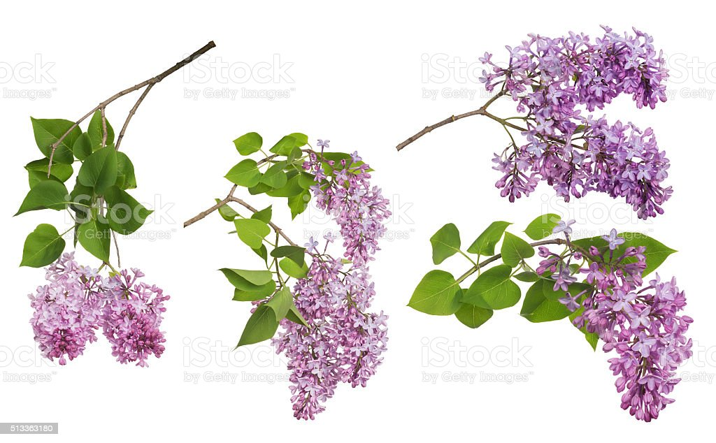 light isolated lilac inflorescences collection stock photo