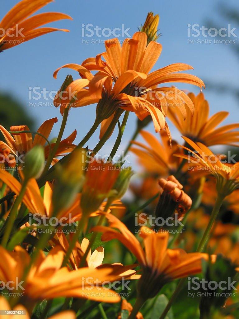 Light orange gerbera flowers royalty-free stock photo