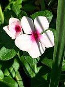 light pink and hot pink flower