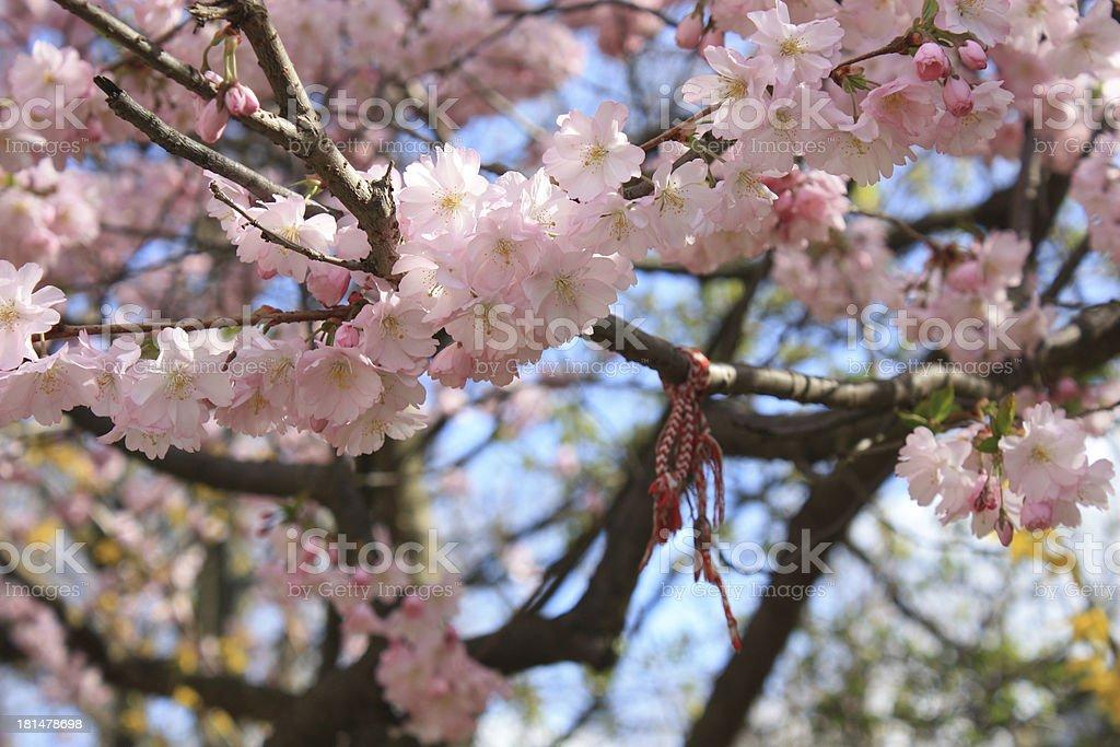 light pink cherry blossom royalty-free stock photo