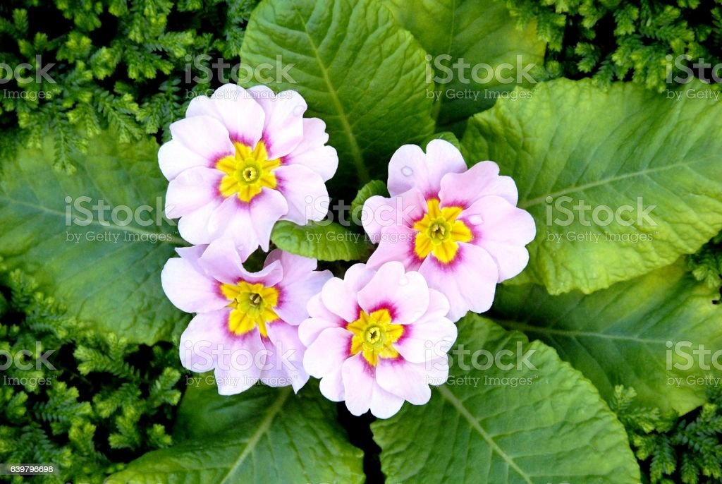 Light pink color primula flowers (Spring primrose) with green le stock photo
