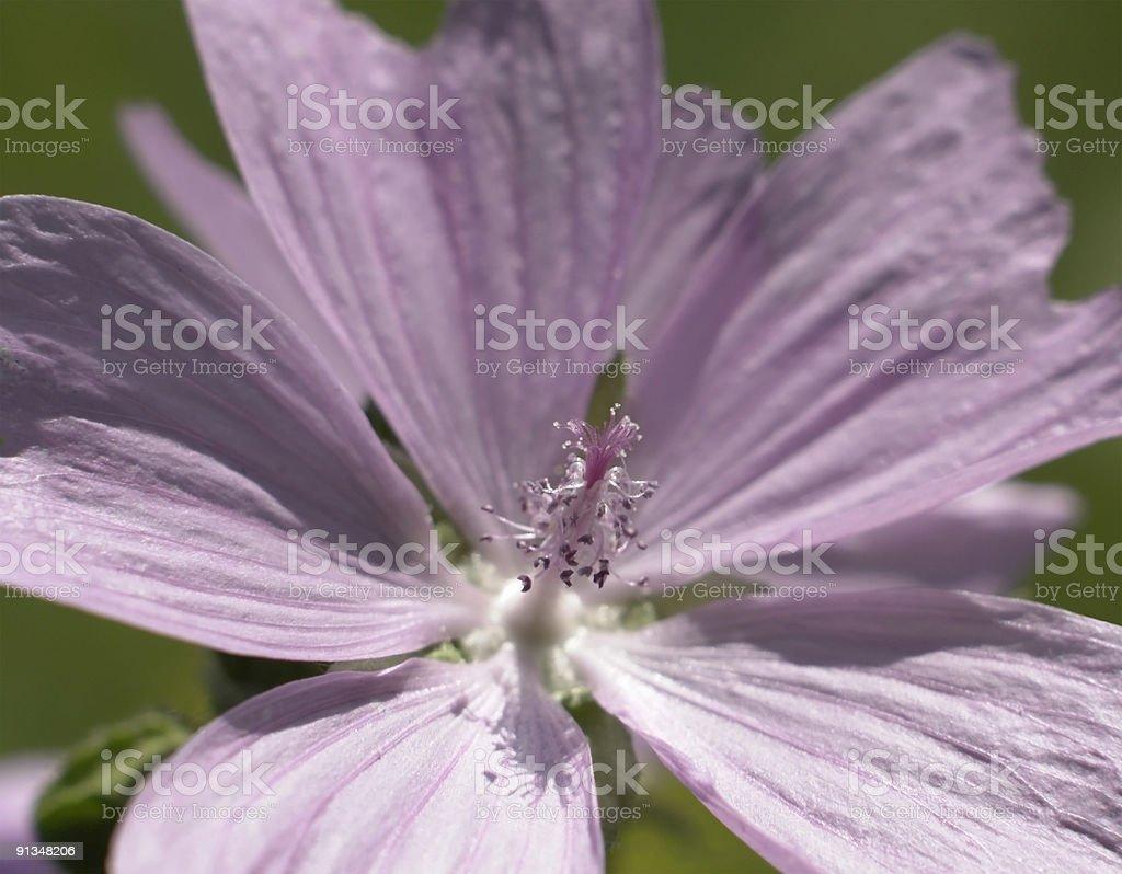 light pink flower detail royalty-free stock photo