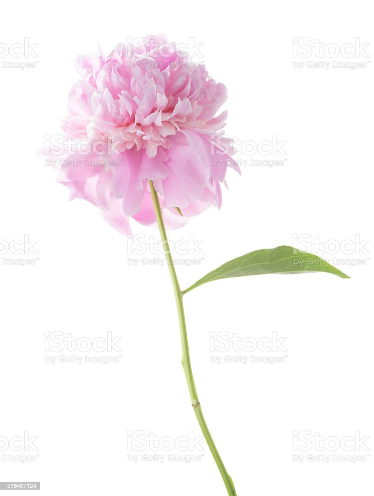 Light pink peony. stock photo