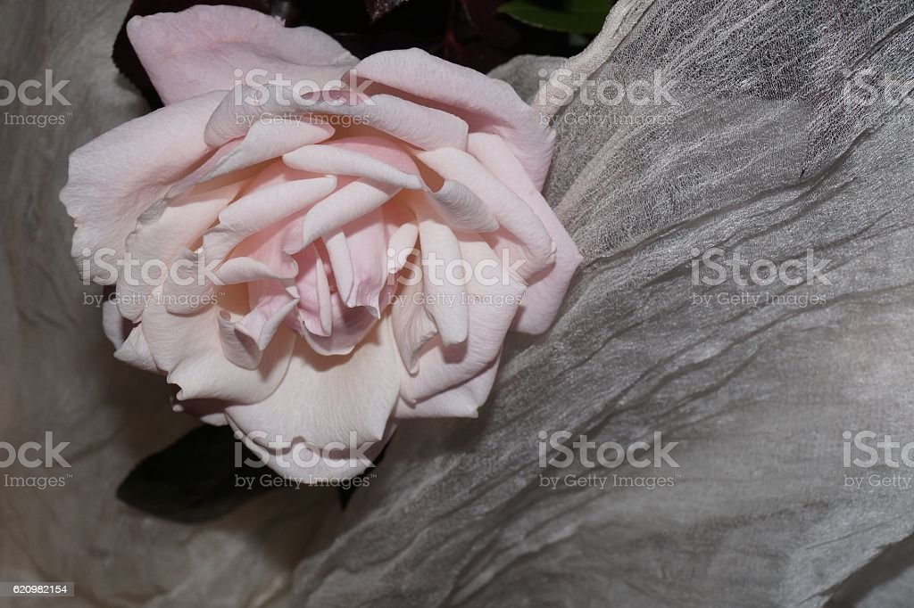 Light pink rose and white silk stock photo