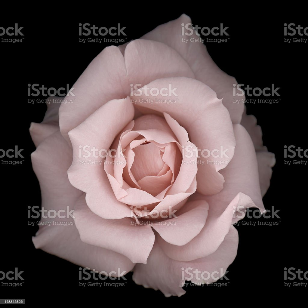 Light pink rose on a black background stock photo