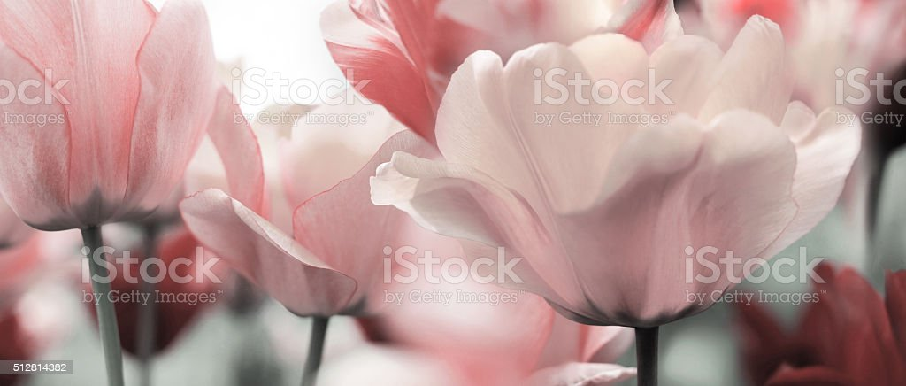 light pink toned spring tulips stock photo