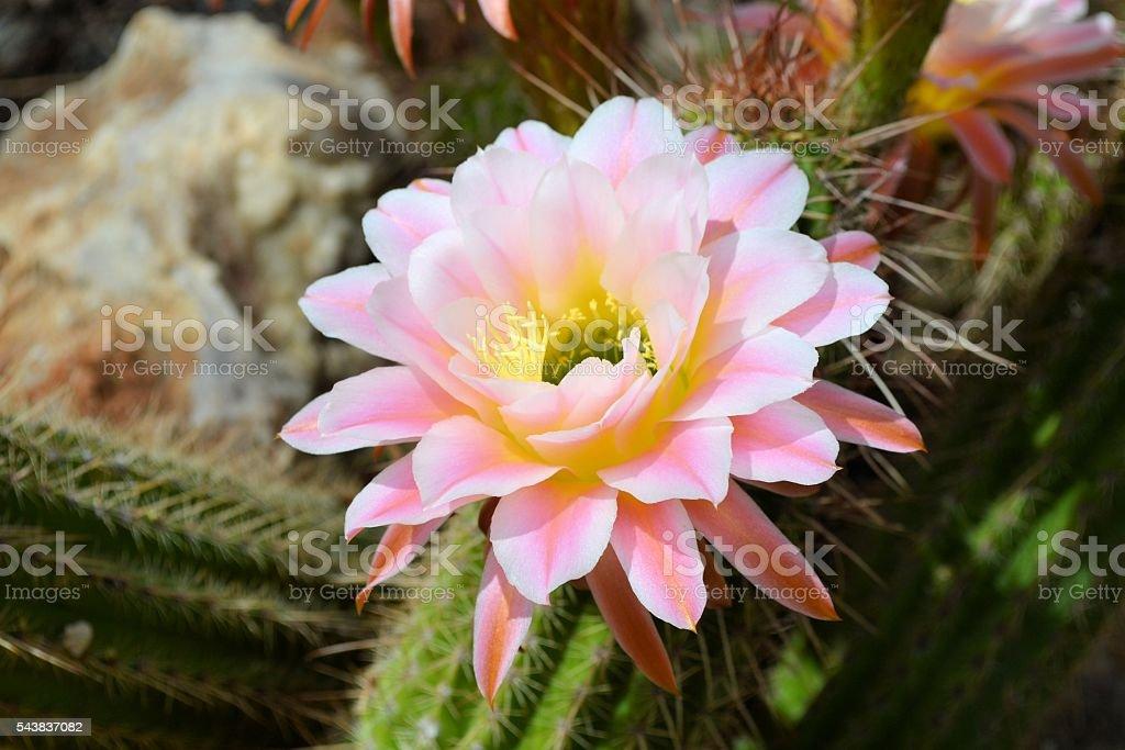 Light Pink Torch Cactus Flower stock photo