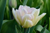 Light Pink Tulip
