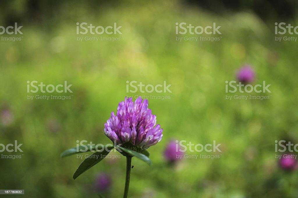 Light purple clover flower with midge royalty-free stock photo