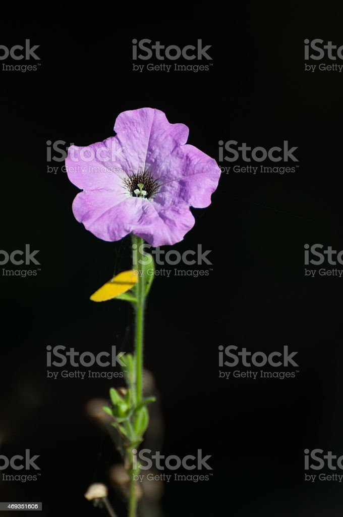 Light purple flower isolated on black background - vertical view royalty-free stock photo