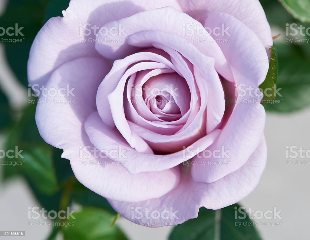 Light purple  rose in close-up stock photo