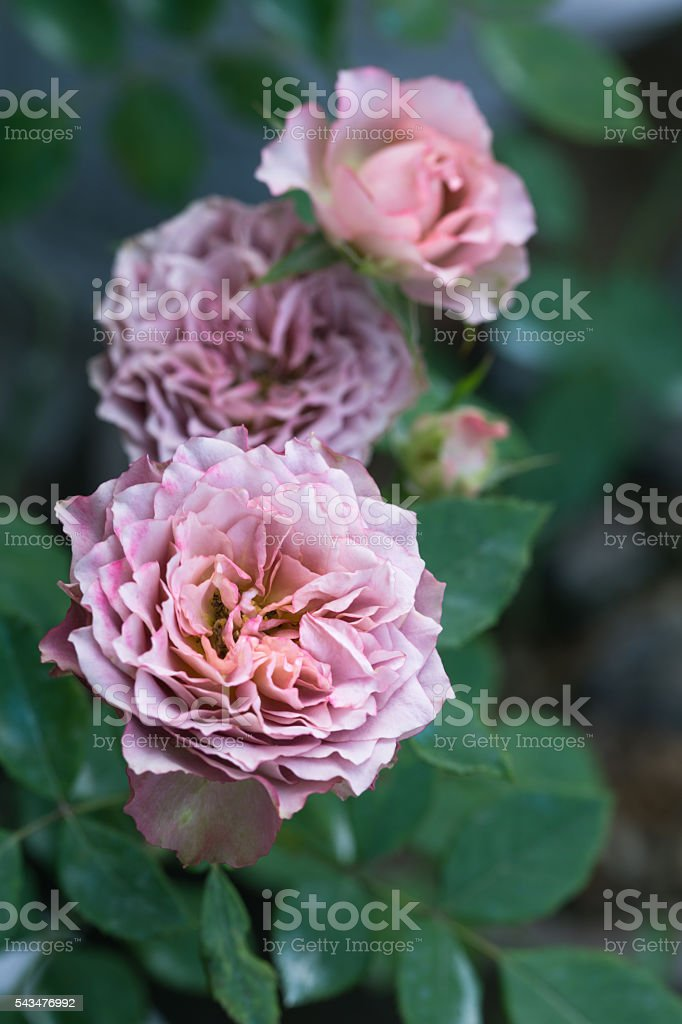 light purple roses blooming stock photo